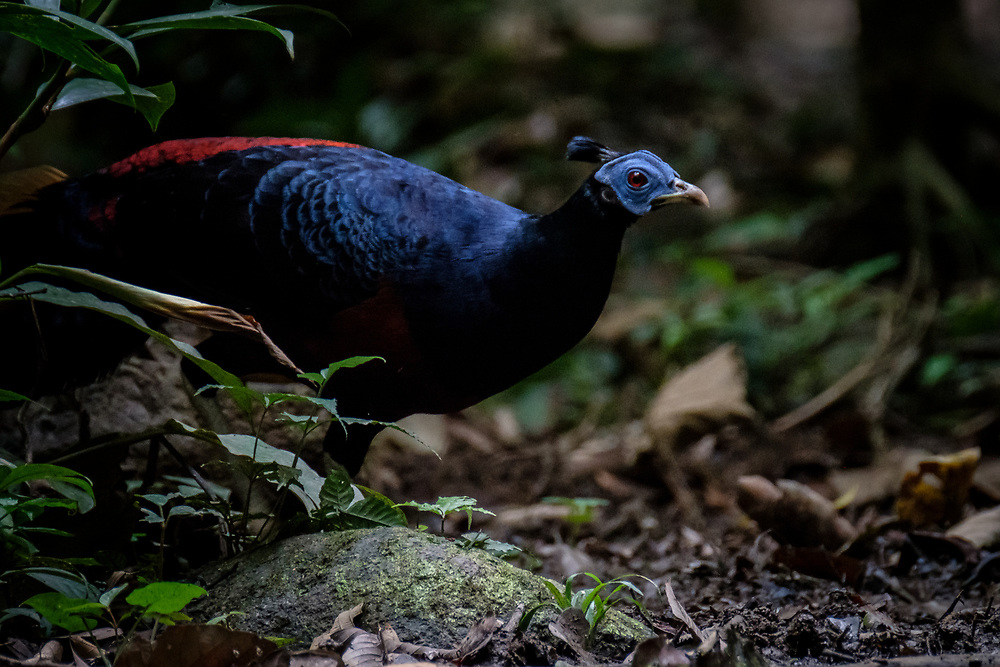 The Crested Fireback in Borneo is sometimes regarded as a separate species - Bornean Crested Fireback, due to some significant plumage differences. This stunning pheasant is often quite approachable and fairly common in the right habitat - that is, healthy lowland rainforest.