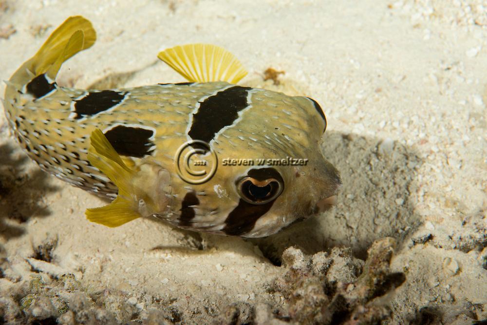 Blotched Porcupinefish, Diodon liturosus, G. Shaw, 1804, Maldives