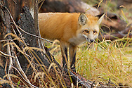 Red foxes are primarily nocturnal and often seek shelter in forested areas during daylight hours. Foxes have adapted well to human activity and many of them live in farmland communities in and around the Greater Yellowstone Ecosystem.