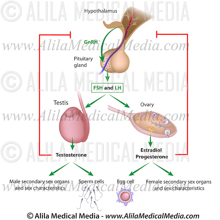 Hormonal Control Of Puberty In Boys And Girls Alila Medical Images