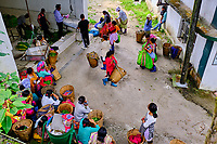 Inde, Bengale Occidental, Darjeeling, Domaine du thé de Castleton // India, West Bengal, Darjeeling, Castleton tea estate
