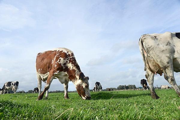 Nederland, Ubbergen, 22-10-2013Een groep koeien, staan in een weiland.Foto: Flip Franssen/Hollandse Hoogte