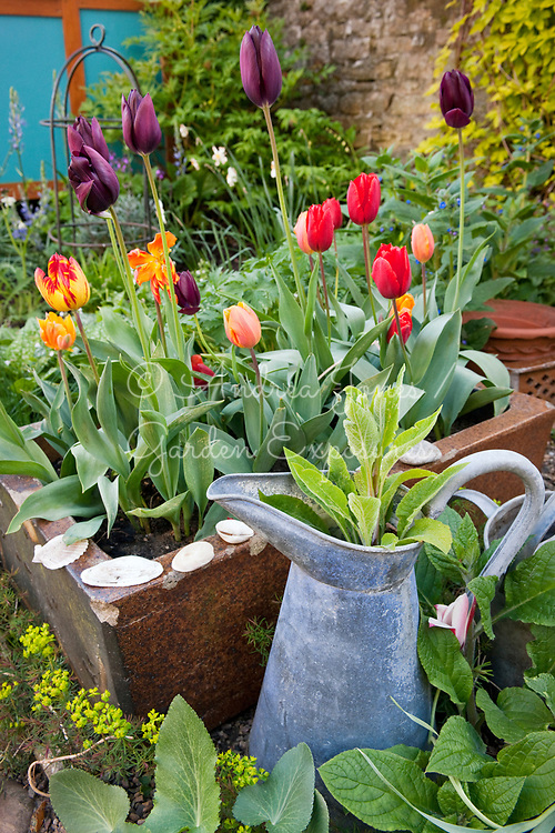 Ceramic sink used as a container and planted with flowering tulips. Pentaglottis sempervirens (alkanet) and Euphorbia cyparissias 'Fens Ruby' (cypress spurge) growing below. Old metal milk jug planted with a Digitalis purpurea (foxglove)<br /> <br /> Town garden, Walsingham, Co. Durham