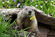 Cute groundhog baby sitting in front of colorful flowers munching on a dandelion.<br />