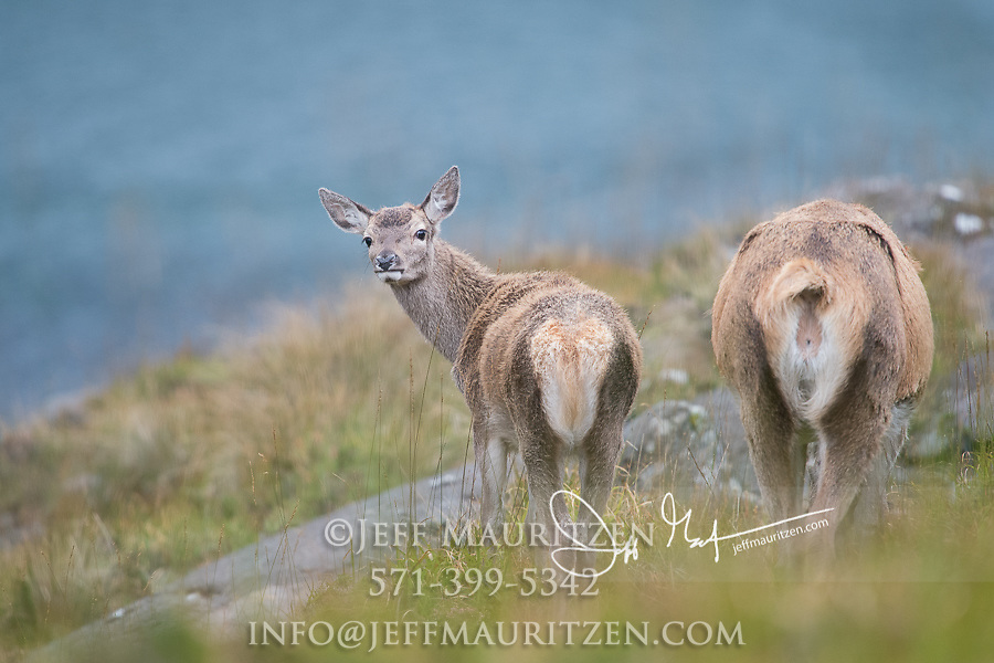 Scottish red deer graze in the Black Cuillin mountains on the Isle of Skye, Scotland.