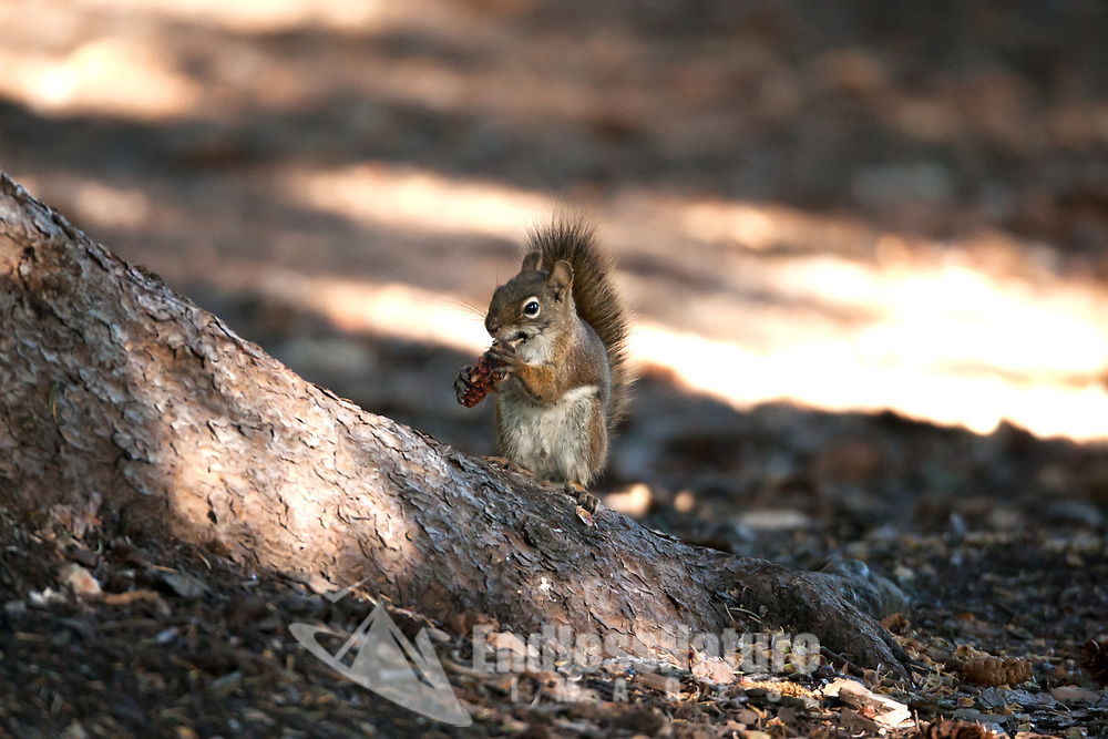 A Pine Squirrel stands at the base of a pine tree snacking on a small young pinecone for breakfast.