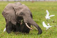African Elephant feeding in the Amboseli Swamps, Amboseli National Park, Kenya