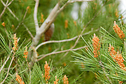 Israel Male cones and leaves of the Aleppo Pine (Pinus halepensis)