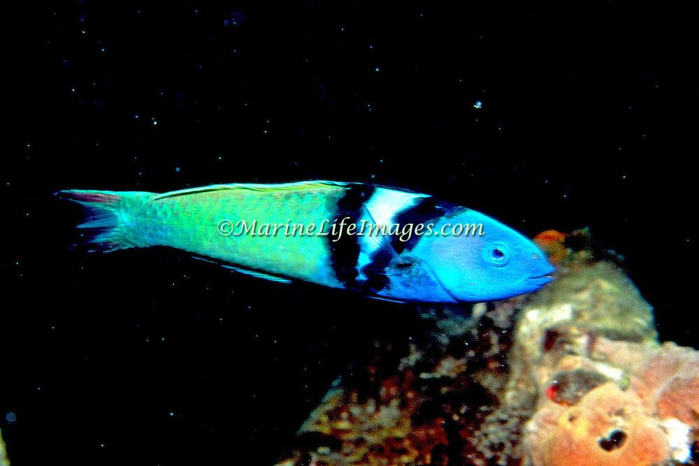 Bluehead inhabit reefs in Tropical West Atlantic; picture taken Anguilla.