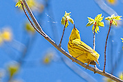 Yellow Warbler - Dendroica petechia sitting on a branch