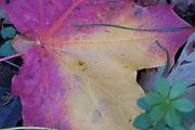 Autumn maple leaf, changing colour