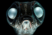 This juvenile Bathylagus antarcticus is a deep-sea smelt of the genus Bathylagus, found in all the southern oceans as far south as Antarctica, from the surface to depths of 4,000 m. Their length is between 10 and 15 cm. | Ein juveniler Kleinmünder (Bathylagus antarcticus) zeigt schon die typischen Merkmale: eine sehr kleine Maulöffnung, die an die aus kleinen Planktonorganismen bestehende Nahrung angepasst ist, sowie riesige Augen für das Sehen im Dämmerlicht. Die in den südlichen Ozeanen zu findenden Kleinmünder der Tiefsee werden etwa 10 bis 15 cm lang. (Atlantik)