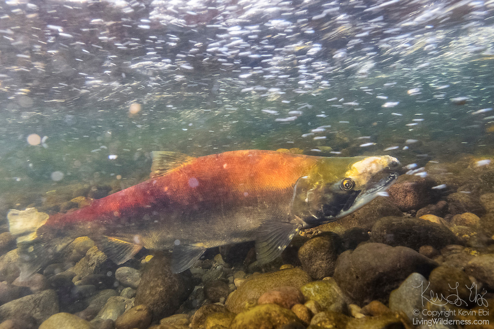 A sockeye salmon (Oncorhynchus nerka) struggles to swim upstream against the fast-moving Cedar River in Renton, Washington, on its way to spawn. Sockeye salmon are also known as blueback salmon, as they are blue tinged with silver while they live in the ocean; they turn red once they return to their freshwater spawning grounds.