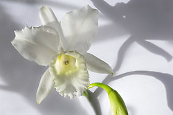 Cattleya, white #6
