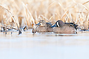 Blue-winged Teal, Anas discors, male & female, McPherson County, South Dakota