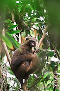 Lemure sull'albero