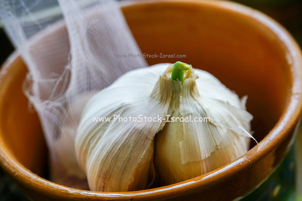 Sprouting Garlic bulbs and cloves