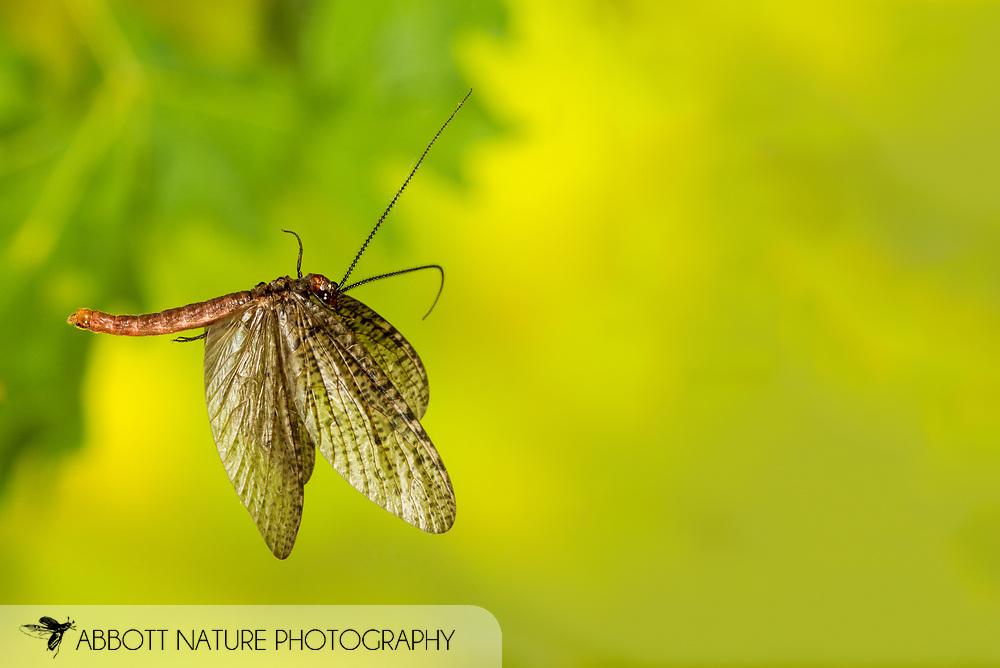 Fishfly (Neohermes concolor) - male flying<br /> ALABAMA: Tuscaloosa Co.<br /> Tulip Tree Springs off Echola Rd.; Elrod<br /> 20-May-2016<br /> J.C. Abbott #2815 &amp; K.K. Abbott