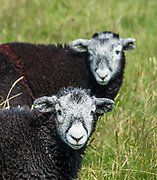 Black sheep with white faces. Eskdale Trail, in Lake District National Park. England Coast to Coast hike with Wilderness Travel, day 2 of 14: from Eskdale in Cumbria county, we walked to Boot for lunch at a local pub and a visit to a working medieval corn mill, in the United Kingdom, Europe. We then climbed to Burnmoor Tarn, then descended to the hamlet of Wasdale Head. Via minibus we returned to Irton Hall for the second night. Published in Wilderness Travel Catalog 2019. [This image, commissioned by Wilderness Travel, is not available to any other agency providing group travel in the UK, but may otherwise be licensable from Tom Dempsey – please inquire at PhotoSeek.com.]