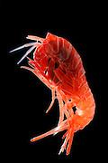 Deep Sea Amphipod (Lanceola sp.) | Der Flohkrebs hat eine perfekte Tarnfarbe: rotes Licht wird vom Wasser schon bei geringen Tiefen herausgefiltert und dringt nicht in die Schichten vor, in denen diese Krebse leben. Die Jäger der Tiefsee können rote Beutetiere nicht sehen.