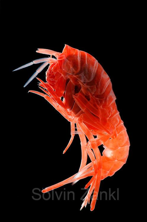 Lanceola Sp Deep Sea Plankton Flohkrebs Tiefsee Plankton