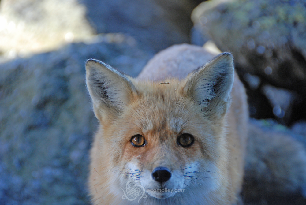 The summit fox...