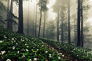 Meadow of blossom ramson in an old foggy beech forest