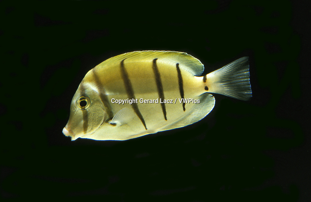 Convict Surgeonfish, acanthurus triostegus, Adult against Black background