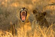 African lion yawning, Kenya