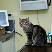 Cat waiting on table clinic after examination cat (Felis Catus) by veterinarian. France
