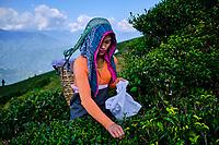 Inde, Bengale Occidental, Darjeeling, Domaine du thé de Happy Valley, cueillette du thé// India, West Bengal, Darjeeling, Happy Valley tea estate, tea picker picking tea leaves