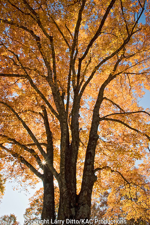 Red Maple (Acer rubrum) autumn, Arkansas