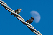 Two common starlings, one with the summer plumage and one with the winter one, perching on an electricity wire.