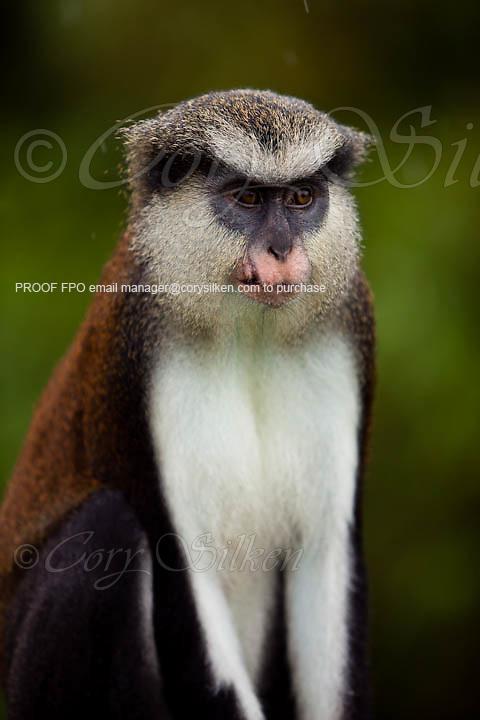 Mona monkeys (Cercopithecus mona) in Grand Etang National Park
