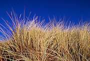 Dried grass is seen growing in a sand dune against a deep blue sky.