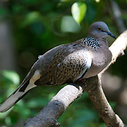 Spotted Dove, Streptopelia chinensis