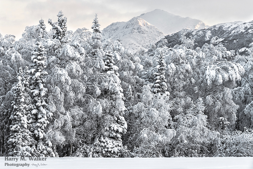 Heavy snow clings to trees in Centennial Park after a recent snowfall; view of Chugach Mountains; winter; Anchorage Alaska