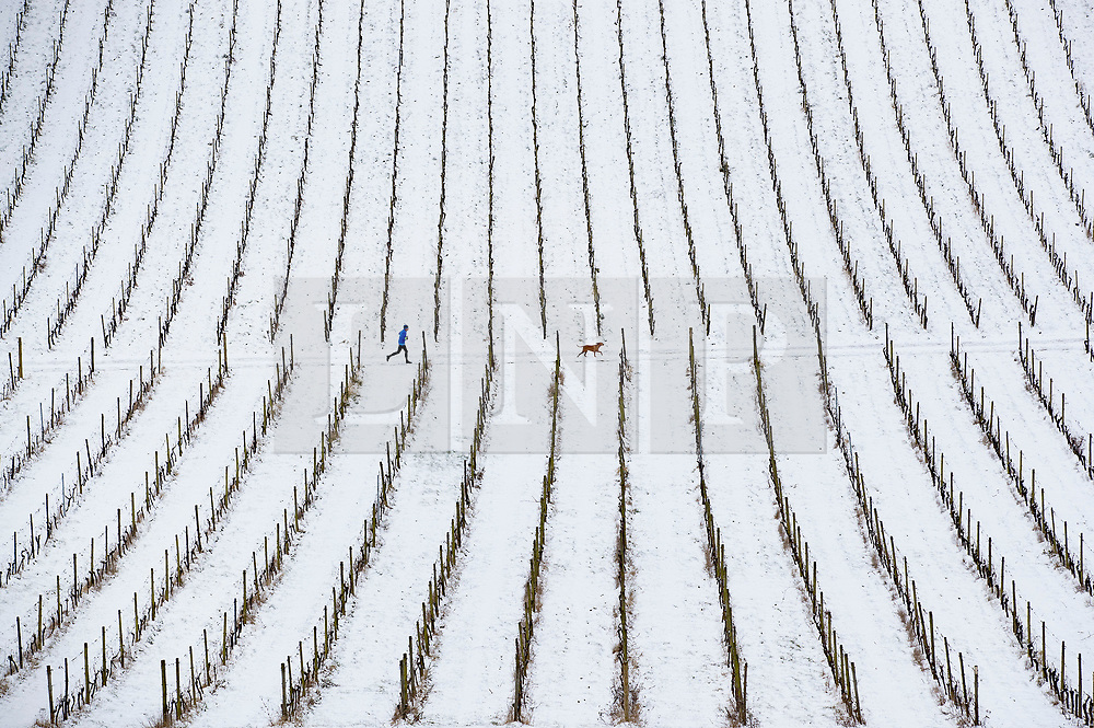 © Licensed to London News Pictures. 18/03/2018. Dorking, UK. A jogger runs through the vines at Denbies Vineyard after overnight snow and freezing temperatures. Amber weather warnings remain in place for parts of the UK for a second day. Photo credit: Peter Macdiarmid/LNP