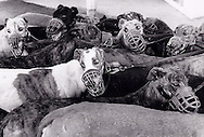 Greyhounds at the Agua Caliente Racetrack in Tijuana.  1995