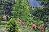Rothirsch (Cervus elaphus) im Aletschwald über dem Aletschgletscher an einem bewölkten Sommertag im Juli