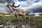 Stunning images reindeer herders of Mongolia<br /> <br /> Tsaatan people are reindeer herders and live in northern Kh&ouml;vsg&ouml;l Aimag of Mongolia. Originally from across the border in what is now Tuva Republic of Russia,the Tsaatan are one of the last groups of nomadic reindeer herders in the world. They survived for thousands of years inhabiting the remotest Ulaan ta&iuml;ga, moving between 5 and 10 times a year. <br /> The reindeer and the Tsaatan people are dependent on one another. Some Tsaatan say that if the reindeer disappear, so too will their culture. The Tsaatan depend on the reindeer for almost, if not all, of their basic needs:  their reindeers provide them with milk, cheese, meat, and transportation. They sew their clothes with reindeer hair, reindeer dung fuels their stoves and antlers are used to make tools. They do not use their animals for meat. This makes their group unique among reindeer-herding communities. As the reindeer populations shrink, only about 40 families continue the tradition today. Their existence is threatened by the dwindling number of their domesticated reindeer. Many have swapped their nomadic life for urban areas. <br /> <br /> For thousands of years, the Tsaatan, or Dukha people have lived with their reindeer on the remote steppes of central Asia. Originally from further west, in 1944 the Tsaatan fled from the Russian region now known as the Republic of Tuva. Many families were afraid of losing their herds due to the Soviet government&rsquo;s practice of requisitioning domestic animals during World War II, and the region was also suffering from food shortages and diseases, for which they had little resistance. Now living near Tsagaan Nuur Lake in northern Kh&ouml;vsg&ouml;l in Mongolia, the Tsaatan were eventually granted Mongolian citizenship in 1956, after a number of attempts at deportation. One of the last groups of nomadic reindeer herders in the world, the Tsaatan people will usually move their homes and their herds between five and ten times each year. <br /> &copy;Pascal MANNA