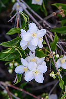 One of the most interesting facts about the mock-orange is the fact that it develops different properties based on where it is found in the wild. Because of the varying habitats where it is found, Native Americans of different tribes and geological locations had very different uses for this same shrub. Some used the wood for making strong and straight arrow shafts. Others made reliable and sturdy digging sticks with them. One of the most amazing characteristics is that if you crush the leaves and flowers together between your hands and keep rubbing, you will create a soapy lather, great for bathing! This one was found blooming next to the Yakima River in Kittitas County, Washington.