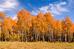 Golden Aspen leaves, aspen trees in fall, white bark, autumn, fall leaves, fall color, Markagunt Plateau, Cedar Mountain, Hwy 132, Mile Marker 24, Dixie National Forest, Utah, UT, Image ut319-17478, Photo copyright: Lee Foster, www.fostertravel.com, lee@fostertravel.com, 510-549-2202