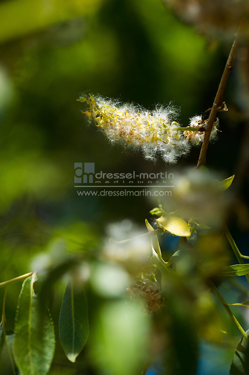 chatfield cottonwoods in bloom