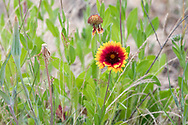 A Blanketflower plant (Gaillardia aristata) flowering at Blackie Spit, near Crescent Beach in Surrey, British Columbia, Canada.  This part of Blackie Spit used to be farmland, and still has some leftover plants species growing there.