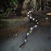 Malayan Krait (Bungarus candidus) in Kaeng Krachan district, Phetchaburi, Thailand