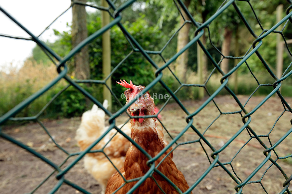 outdoor walking chicken behind a wire fence
