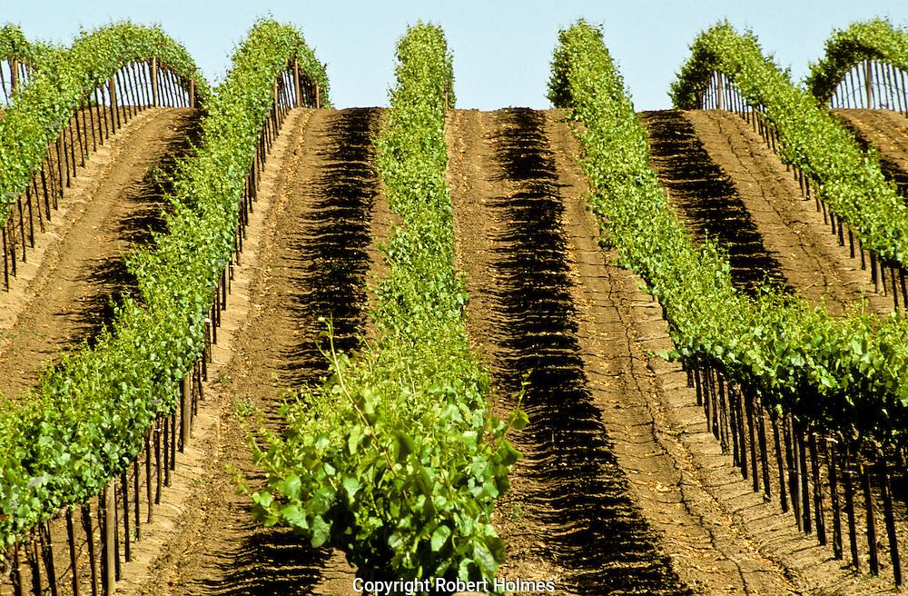 Cuvaison Vines in Carneros, Napa, California