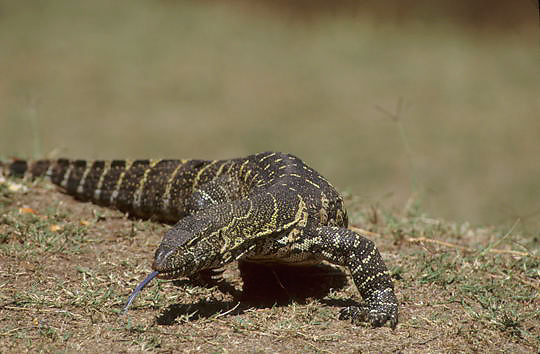 Nile Monitor Lizard, (Varanus niloticus) Largest African lizard. Masai Mara Game Reserve. Kenya. Africa.