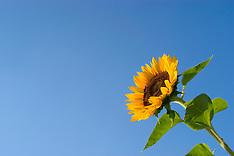Sunflowers, zonnebloemen